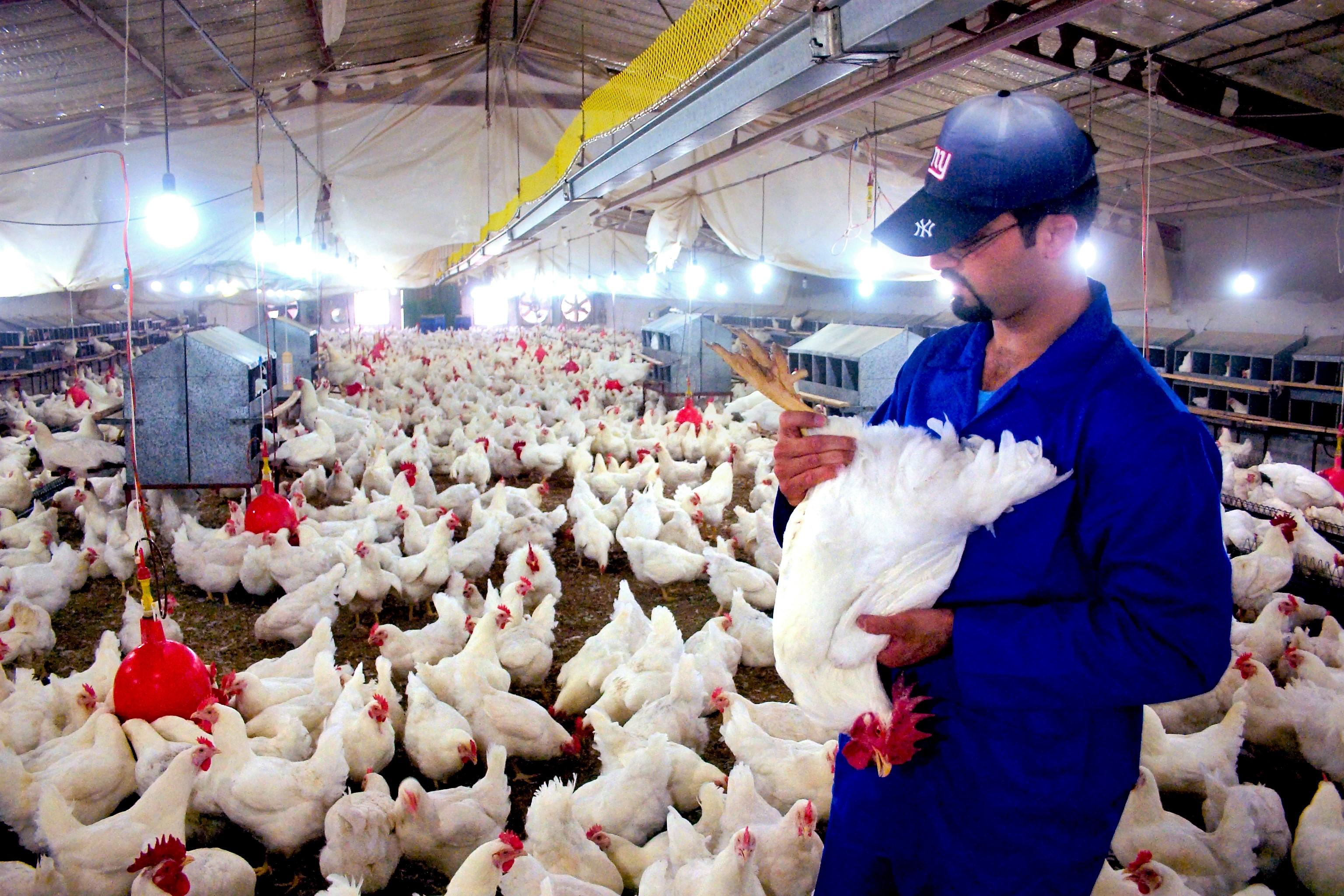 واحد پرورش مرغ مادر