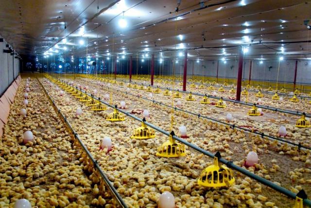 واحد پرورش مرغ گوشتی